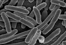gut bacteria, low carb